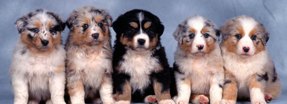 slide_aussie_pups