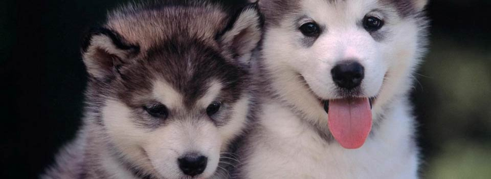 slide_husky_puppies